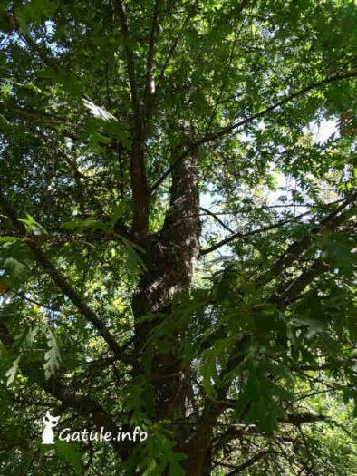 Quercus pyrenaica o Roble común follaje