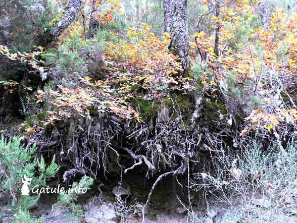 raíz del roble