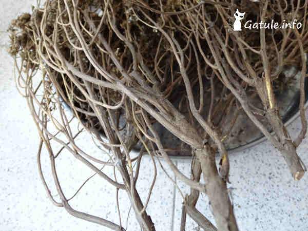 plantas ajedrea secas