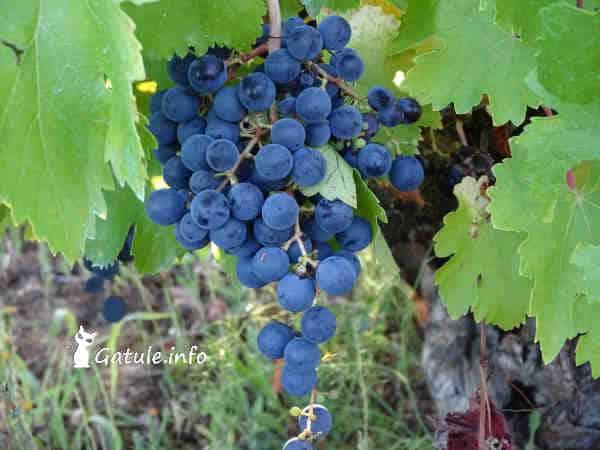 Vitis vinifera mencía