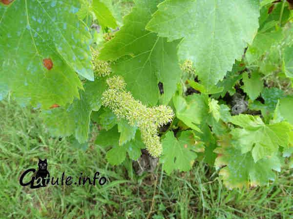 flor Vitis vinifera