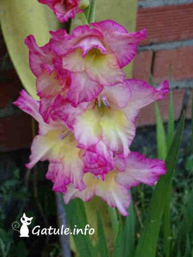 flor gladiolos morados