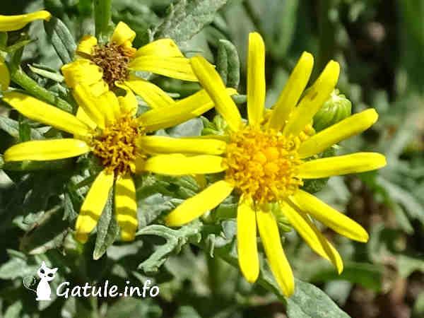 flor Jacobaea vulgaris