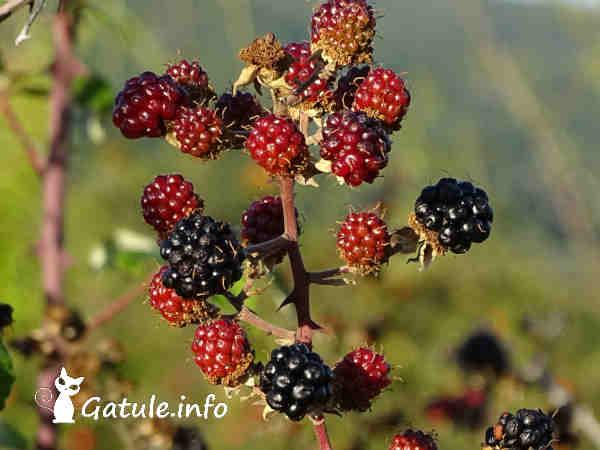 moras silvestres frutos Rubus ulmifolius