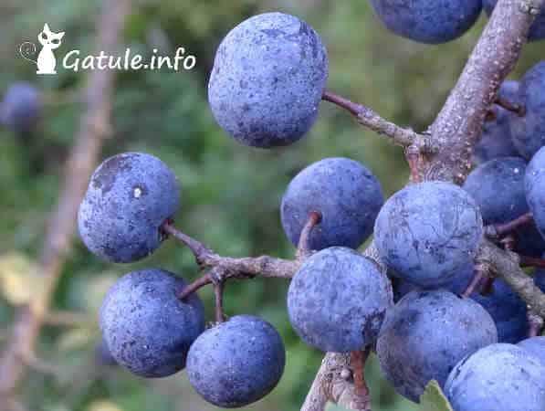 abruño fruto prunus spinosa