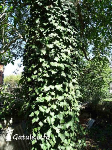 árbol con hiedra