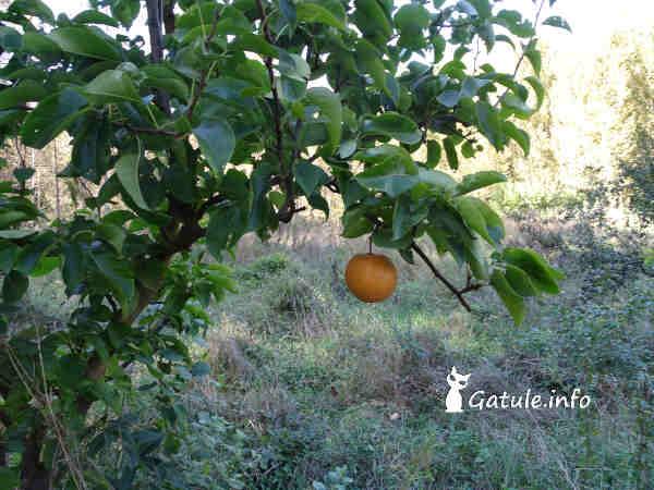 árbol nashi o Pyrus pyrifolia