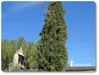 árbol ciprés
