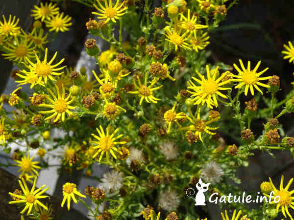 Jacobaea vulgaris planta