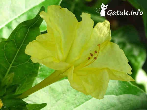 Mirabilis Jalapa flor