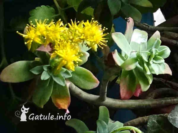 Sedum spathulifolium planta