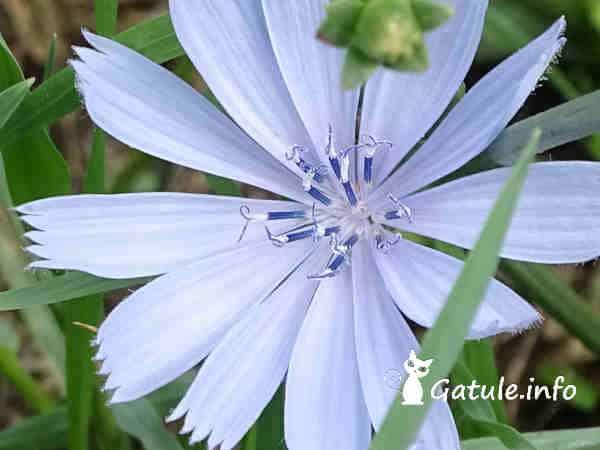 flor Cichorium intybus