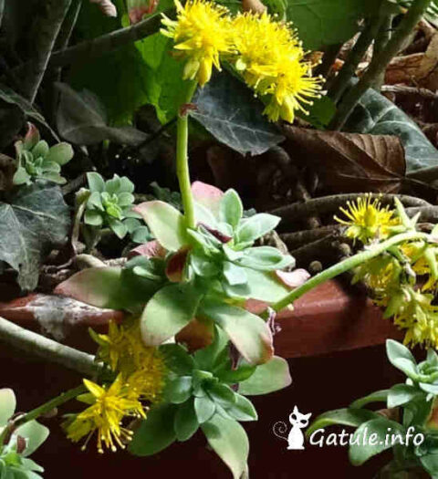 flores de la planta cape blanco