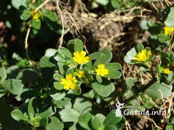 planta Portulaca oleracea