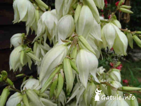 flores yucca gloriosa