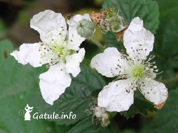 flores Rubus ulmifolius