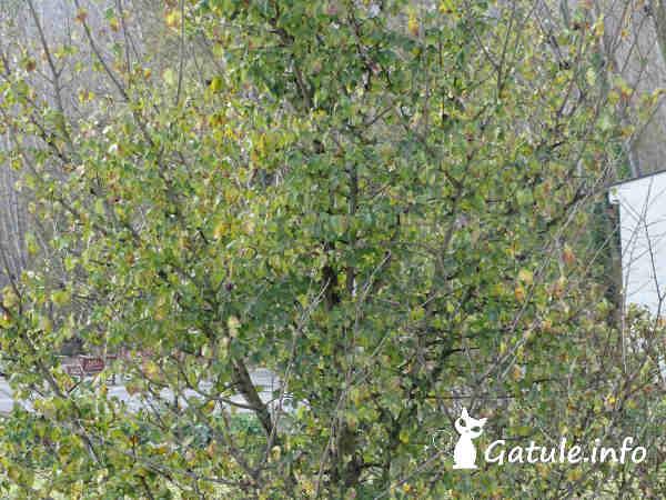árbol negrillo