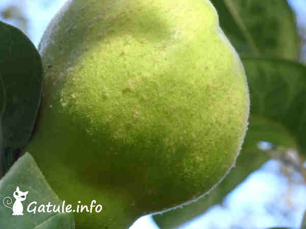 fruto árbol membrillero