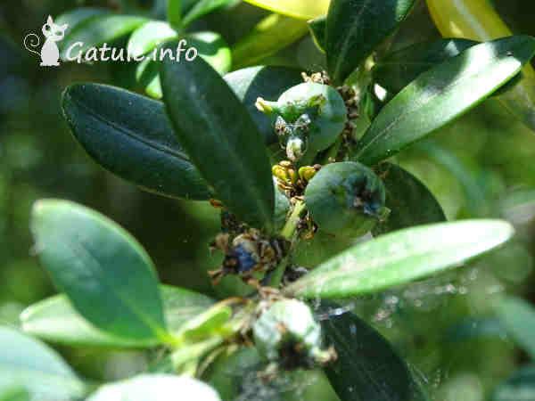 frutos buxus sempervirens