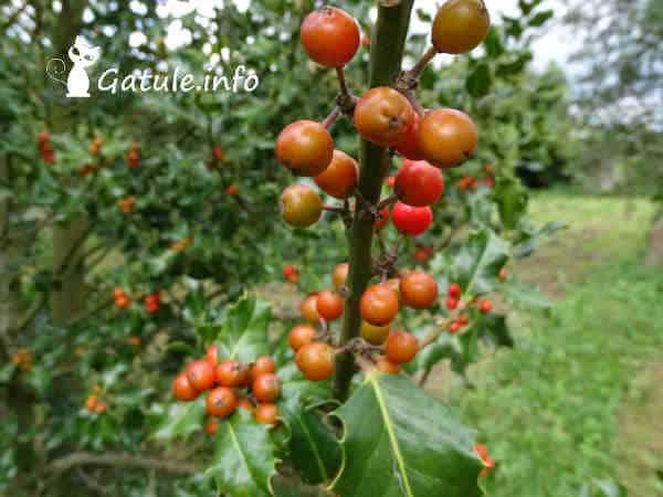 frutos ilex aquifolium
