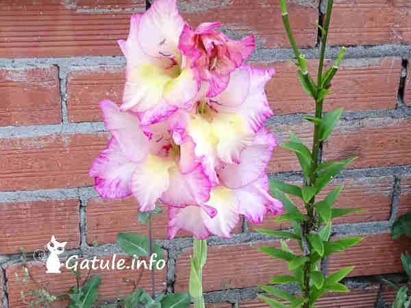 planta gladiolos florida