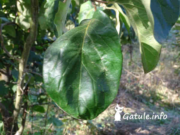 hoja árbol membrillo