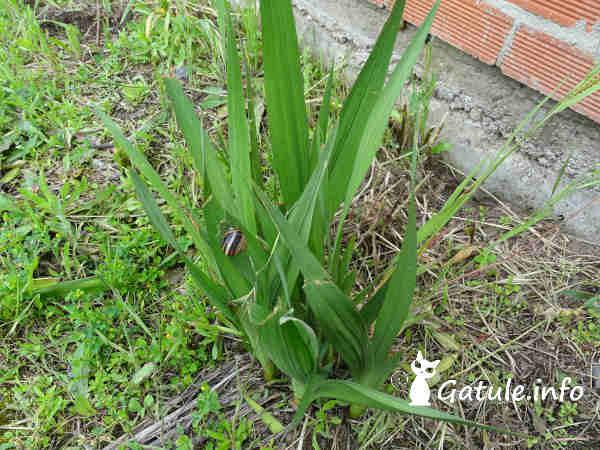 hojas de los gladiolos
