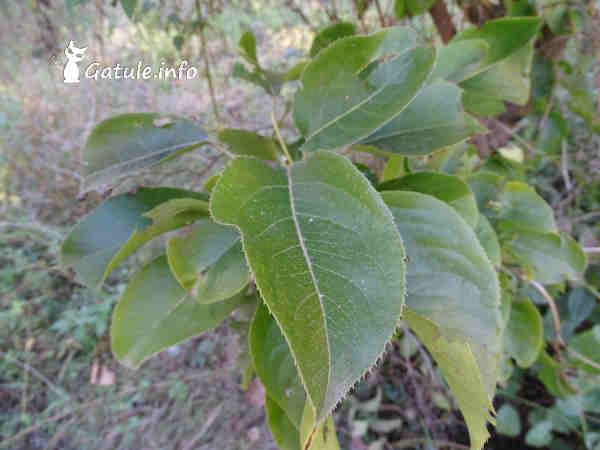 hojas pyrus pyrifolia