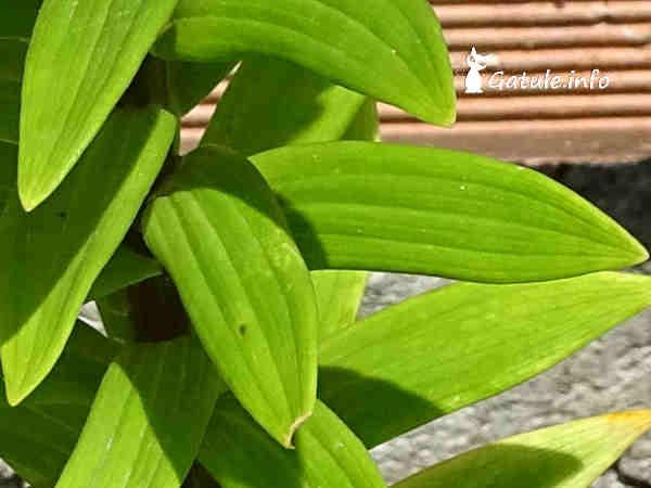 hojas de lirio o azucena