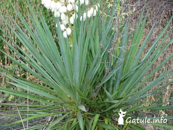 hojas planta yucca gloriosa