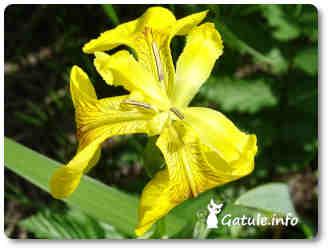 flores olorosas lirio de agua