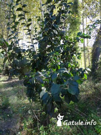 árbol del membrillo