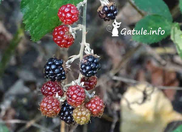 moras silvestres Rubus ulmifolius