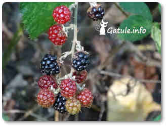 mora fruta silvestre saludable