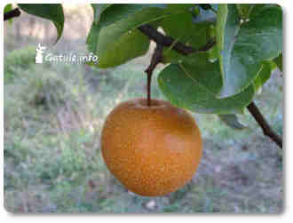 nashi plantas y árboles frutales