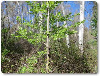 negrillos árboles madereros