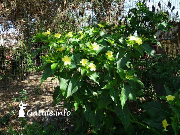 planta Mirabilis Jalapa