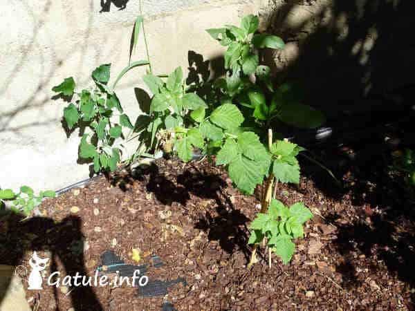pequeña planta de frambuesa