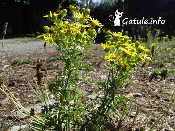 planta hierba de santiago