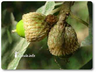 árbol roble bellotas