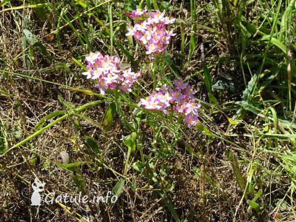 planta centaura menor