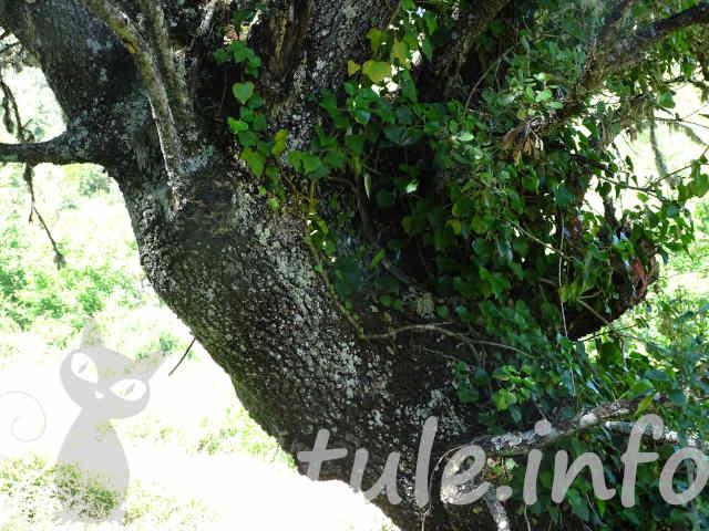 corteza árbol carrasca o encina