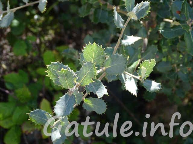 hojas quercus ilex