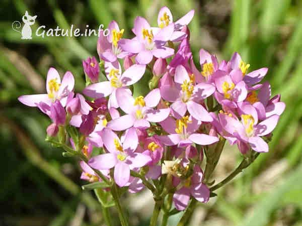 flores centaura menor