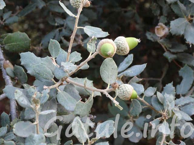frutos quercus ilex